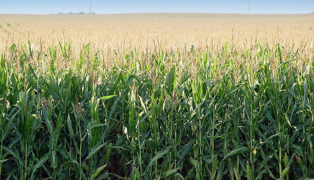 Exceso de nitrógeno en los cultivos de maíz sube los costos