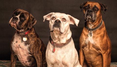 7b64b1076de7 Conozca cuáles son las razas de perros que más se ajustan a su familia