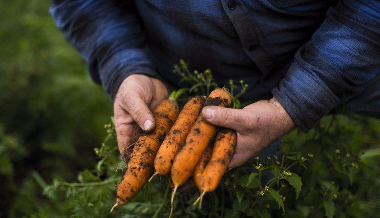 Clima Y Tecnologia Son Los Retos Que Afrontan Los Productores De Zanahoria En El Pais Ii▻ el cultivo de zanahoria. afrontan los productores de zanahoria